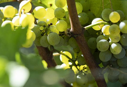 Les ingredients issus de la vigne et du raisin